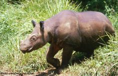 Did you know that the Sumatran rhino is the hairiest of all five rhino species? Sumatran rhinos have a reddish-brown skin and are variably covered with patches of short bristly hair. Their hair is most prominent on their ears.  Visit our website to learn more about Sumatran rhinos http://www.savetherhino.org/rhino_info/species_of_rhino/sumatran_rhinos/factfile_sumatran_rhino