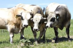 Three piedmontese cows. Piedmontese is a  breed of cattle from the region of Piedmont, in north-west Italy.