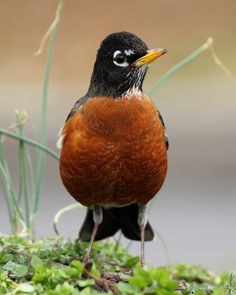 American Robins Are Exceptional Singers | BirdNote - http://birdnote.org/show/american-robins-are-exceptional-singers