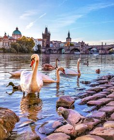 What is one of the more unexpected parts of visiting Prague? * The swans of Vltava River by the Charles Bridge! * To plan a trip to see the Swans of Vltava River, contact . Photo by: . Purpose Of Travel, Visit Prague, Europe Holidays, Prague Czech Republic, River Bank, Europe Photos, Destination Voyage, Culture Travel, Travel Around The World