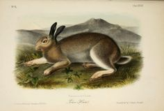 "1989 Vintage /""WORM-WOOD HARE/"" WORMWOOD AN AUDUBON MAMMAL COLOR Art Lithograph"