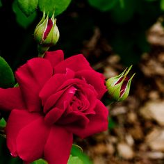 Red Rose Take 2 | Flickr - Photo Sharing!