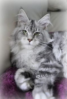 Shedoros Maine Coon Cattery. http://www.mainecoonguide.com/