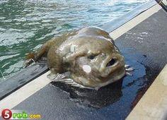12 best blob fish images on pinterest blobfish strange animals