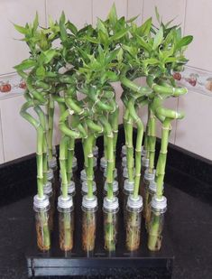 Bamboo House Plant, House Plants, Bamboo Crafts, Paper Flowers Diy, Feng Shui, Indoor Plants, Herbalism, Lily, Home Decor