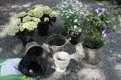 Margerittene blir plantet i melkespann som gir den riktige Blackberry, Den, Girly, Fruit, Plants, Women's, Girly Girl, Blackberries, Plant