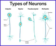 Nervous System Anatomy and Physiology - Nurseslabs Nervous System Anatomy, Human Nervous System, Peripheral Nervous System, Central Nervous System, Human Body Anatomy, Human Anatomy And Physiology, Types Of Neurons, Biology Lessons, Human Body Systems