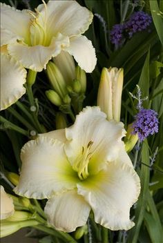 """Hemerocallis 'Early Snow' Height 29"""", Spread 18-24"""" This is considered a premium daylily, which means that it has been selected as highly performing plant with exceptional bloom performance, substantive, vibrantly colored flowers, complete winter hardiness in northern zones, and a vigorous habit. Walters Gardens, Inc."""