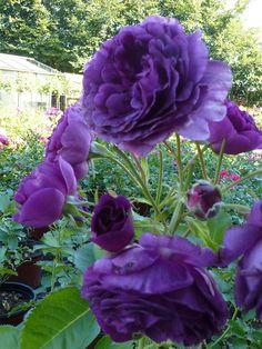 8 Flower Landscape Ideas For Your Garden – Garden Ideas 101 Exotic Flowers, Pretty Flowers, Flowers Perennials, Planting Flowers, Beautiful Roses, Beautiful Gardens, Rosa Rose, Flower Landscape, Purple Garden