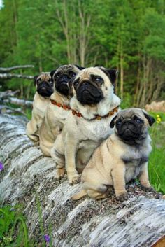 Pug family photo:  Pictured from nearest to farthest: Pugsley, Pugford, Pugneesha, Pugmillion