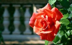 Preview wallpaper rose, bud, branch