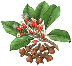 Botanical illustration of a branch of cloves with flowers and leaves, also seven dried cloves.