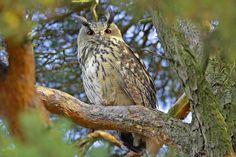 Schweizerische Vogelwarte Sempach - Eurasian Eagle-Owl