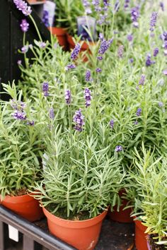 Follow these three garden plans for herbal tea gardens that can help remedy minor aches and ailments.
