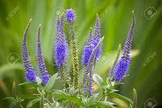 Bildergebnis für veronica pflanze