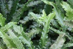 Evergreen fern. Asplenium scolopendrium Crispum Cristatum Group.