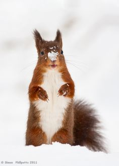 the chill of winter - christmas - squirrel