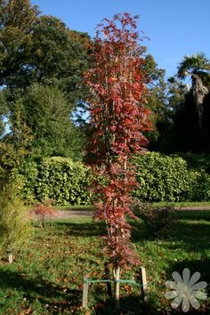 Sorbus aucuparia 'Autumn Spire' - Ideale boom voor kleine tuinen, met mooie herfstkleur, kleine boom