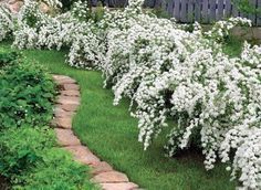 'Bridal Wreath' Spirea - this is extremely easy to grow and will eventually spread a bit (along the fence maybe?)