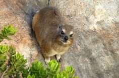 What looks like a gopher, is closely related to elephants and sings like a bird? The rock hyrax! This highly unique little guy loves to spend his days sunbathing and attracting females with his stylish tusks, which help link him to both elephants and manatees through a common ancestor.