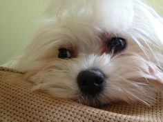 Maltese: Paisley Maltese Dogs, Maltipoo, Animal Kingdom, Make Me Smile, Best Dogs, Madness, Bugs, Paisley, Dog Cat