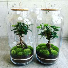 How to make a forest in a jar, your own ecosystem in a jar for inspiration – Ho… - Mini Garden Terrarium Jar, Terrarium Plants, Succulent Terrarium, Water Terrarium, Indoor Water Garden, Indoor Plants, Plant In Glass, Plants In Jars, Plantas Bonsai