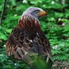 Milan royal Falcons, Hawks, Bald Eagle, Milan, Images, Photos, Nature, Animaux, Pictures