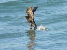 ave,PlayaCangrejales,Chubut-Patagonia
