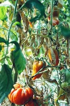 How to grow heirloom tomatoes and harvest their seeds.