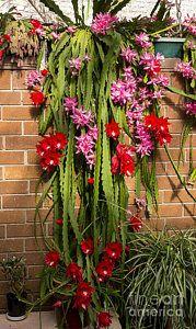 Christmas Cactus Print by Steven Ralser