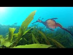 Shot off of the Tasmanian Coast, the weedy seadragon is indeed a rare find. Weedy sea dragons are very curious creatures and are amazing to watch as they gra. Weedy Sea Dragon, Curious Creatures, Dragons, Birth, Aquarium, Wildlife, Coast, Mermaid, Swimming