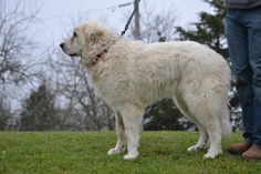 Great Pyrenees dog for Adoption in Whitewright, TX. ADN-473386 on PuppyFinder.com Gender: Male. Age: Young