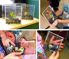 Growing bean plants in CD cases. for kids