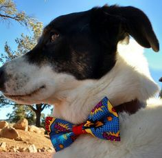 Aro the Superdog Wearing his Wham Bam Barky Bow. Dogs love bow ties! barkybow.com