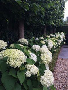 garden care backyards Cool 32 Elegant Hydrangeas Landscaping Design Ideas To Inspire You Now. Hydrangea Landscaping, Landscaping Plants, Front Yard Landscaping, Landscaping Ideas, Backyard Ideas, Front Yard Hedges, Front Yards, Outdoor Landscaping, Back Gardens