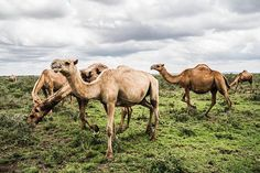 #Camels graze in the open fields outside of #Nanyuki, #Kenya. Rain or not, I love spending time in #laikipiacounty. #Africa #Laikipia #animals #environment Pete K Muller