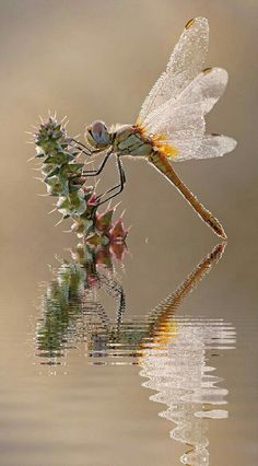 Dragonfly and reflection Dragonfly Photos, Dragonfly Art, Dragonfly Tattoo, Beautiful Bugs, Beautiful Butterflies, Mantis Religiosa, Bugs And Insects, Macro Photography, Dragonfly Photography