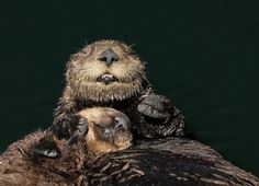 Sea otter mum and pup are happy in their cuddles - October 27, 2012