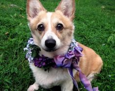one of her beloved corgis Bailey