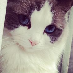 the cat thats prettier then most humans. - Imgur