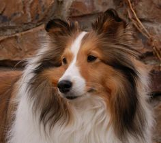 Beautiful Collie