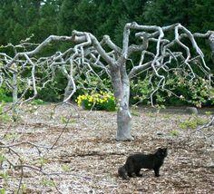 Organic Gardening in Sidney: Paul Gautschi's (Back to Eden) pruning info and… - Tree Pruning Prune Fruit, Pruning Fruit Trees, Tree Pruning, Forest Garden, Farm Gardens, Eden Gardens, Hobby Farms, Edible Garden, Apple Tree