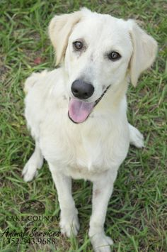 Petfinder Adoptable | Dog | Yellow Labrador Retriever | St. Augustine, FL | Bella
