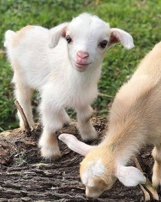 A cute baby goat who loves to play with his sister😍❤ Photo by funny captions funny humor funny memes animal funny Cabras Animal, Amor Animal, Cute Little Animals, Cute Funny Animals, Cute Goats, Baby Goats, Tier Fotos, Cute Animal Pictures, Pet Birds