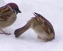 bing bird in snow - Bing images