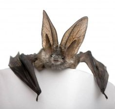 Grey Long-eared Bat Thanks to For Animals (FB)