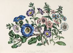 Jane Loudon (1807-1858), 'The Ladies' Flower-Garden of Ornamental Annuals' l Victoria and Albert Museum #floral #illustration