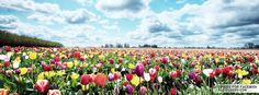 Field Of Tulips Facebook Covers