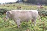 WHITEBRED SHORTHORN es una raza originaria de Gran Bretaña.  Esta raza deriva de la cruza de las razas Shorthorn y Galloway.  El color característico es el blanco.