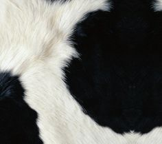 Cow - Motorola Defy MB525